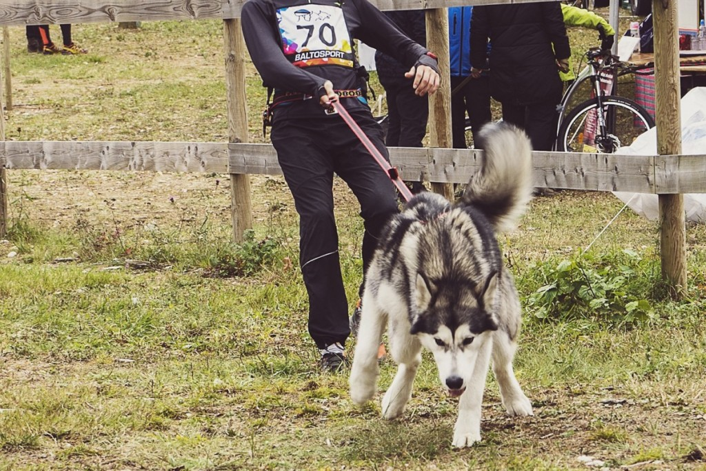 Taiga's first canicross race