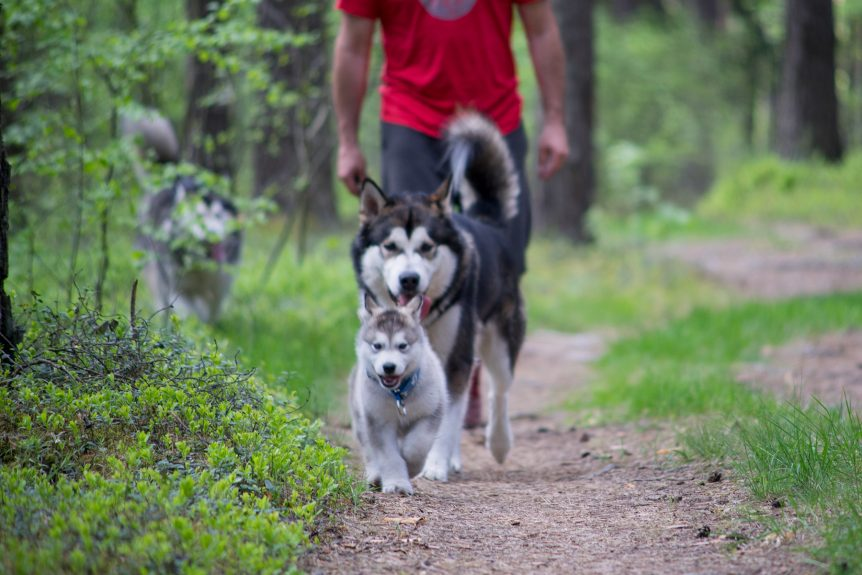 Malamute puppy leads the pack