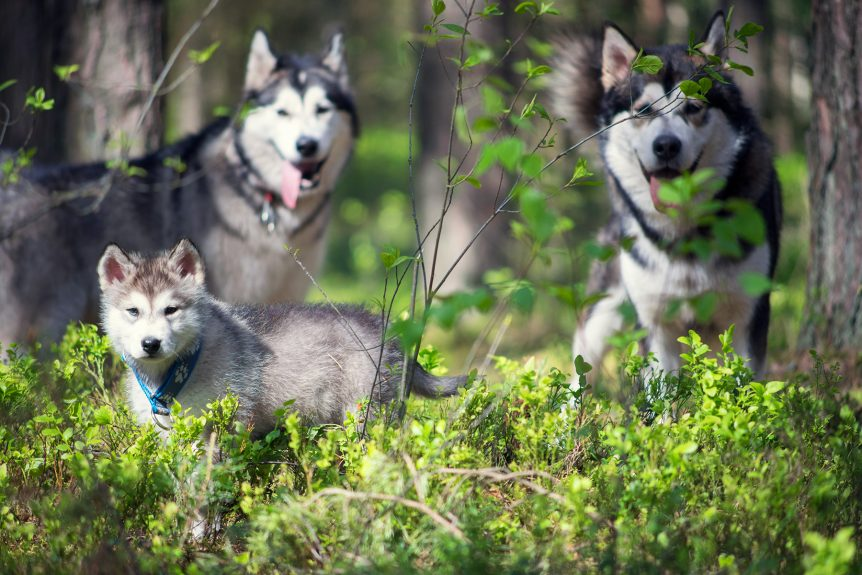 Malamute puppy Yuki with Taiga and Stig