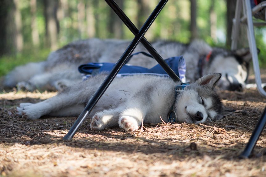 Malamutes happily asleep after an active day